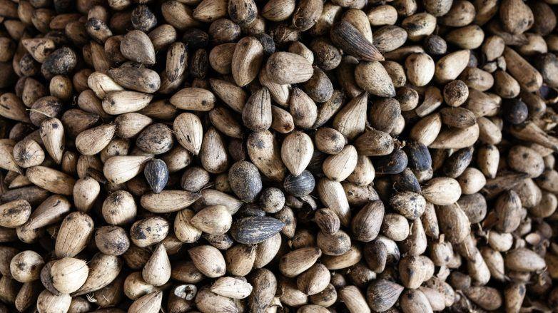 Foto do murumuru, ingrediente proveniente da Amazônia