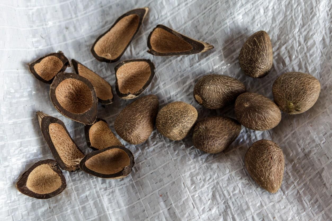 murumuru butter seeds