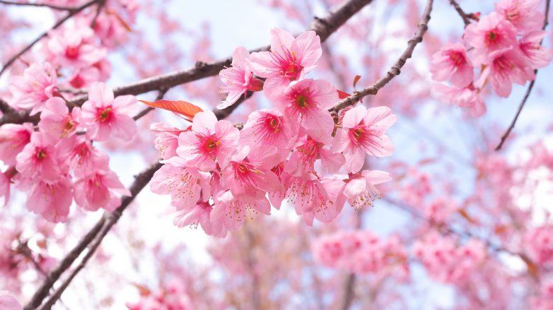 Pink sakura flowers in a cherry blossoms tree